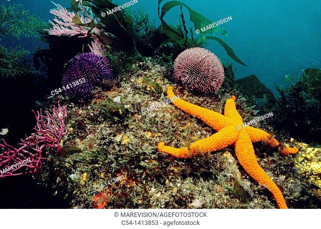 Red Starfish (Echinaster sepositus), Eastern Atlantic, Galicia, Spain