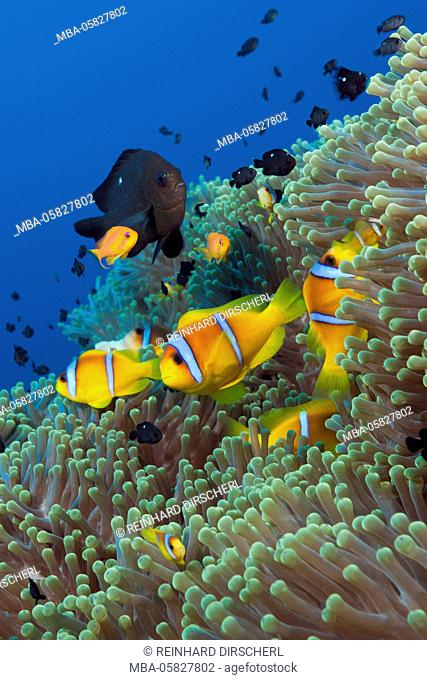 Red sea anemone fish in the reef, Amphiprion bicinctus, Shaab Rumi, the Red Sea, Sudan