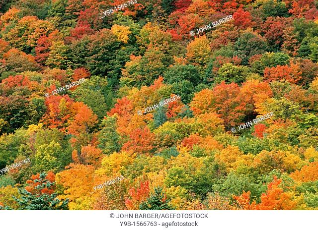 Autumn color of sugar maple Acer saccharum stands out in northern hardwood forest, near Dixville Notch, northern New Hampshire, USA