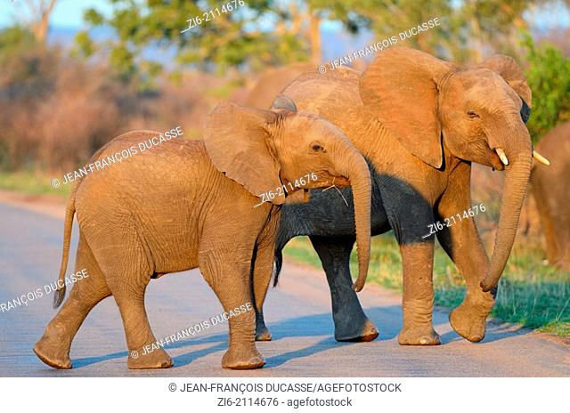 Young African elephants  (Loxodonta africana), crossing the tarred road, at sunset, Kruger National Park, South Africa, Africa
