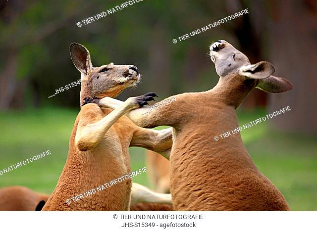 Red Kangaroo, (Macropus rufus), two adult males fighting portrait, South Australia, Australlia