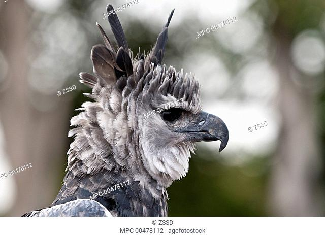 Harpy eagle feather harpia harpyja Stock Photos and Images | age