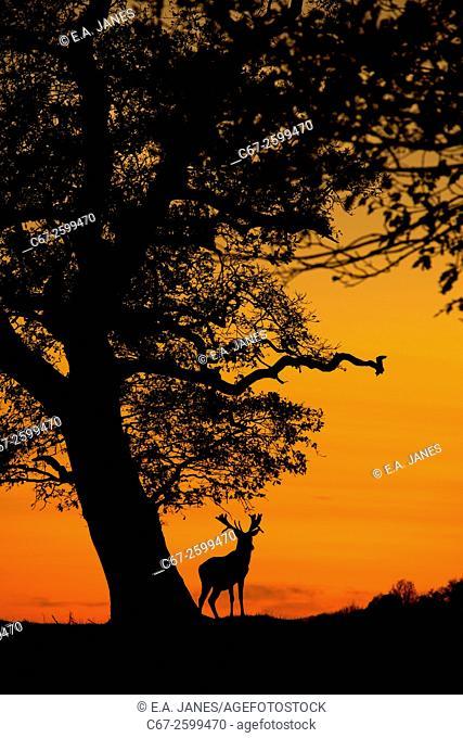 Red Deer Cervus elaphus at sunset Holkham park Norfolk
