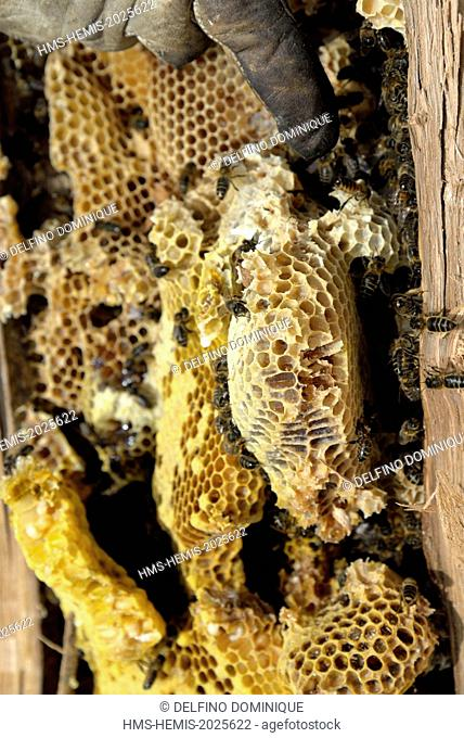 France, Haute Saone, swarm of bees forest (Apis mellifera) to their brood in the trunk of a felled oak by forest and open in two to transfer bees and a hive...