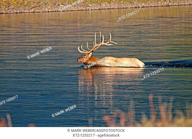 Tetons, bull elk swimming the Snake River near Jackson Lake in Grand Teton National Park in northern Wyoming