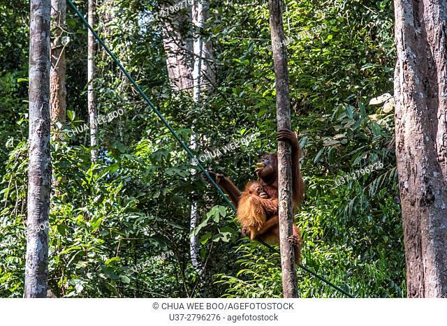 Orang utan, Semenggoh Wildlife Centre, Sarawak, Malaysia