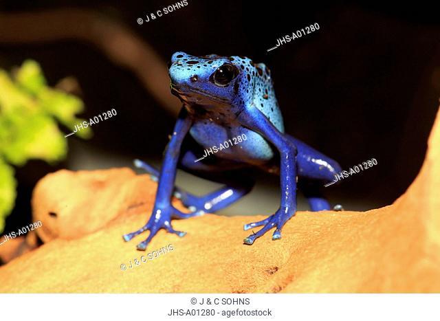 Blue poison dart frog, (Dendrobates tinctorius), adult, alert, South America