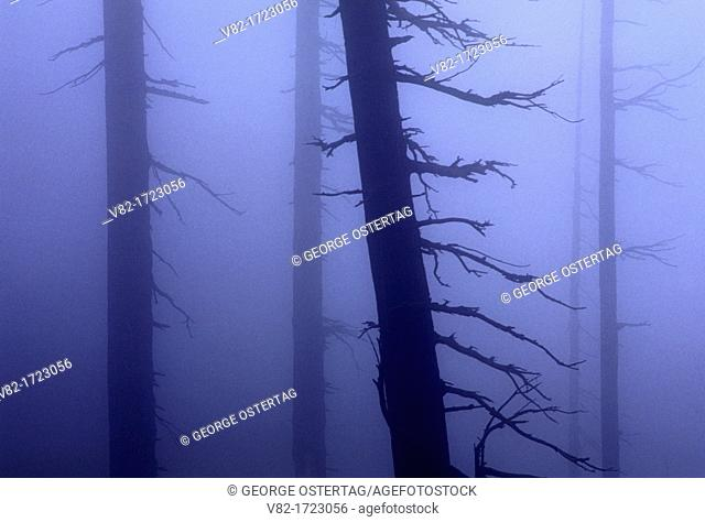 Ghost forest in fog, Mt St Helens National Volcanic Monument, Washington