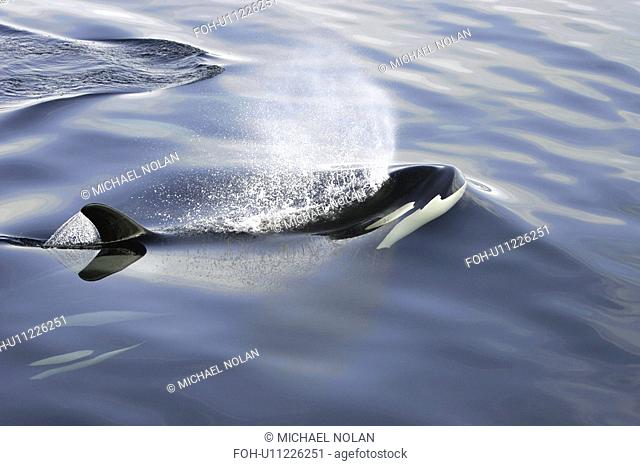 Orca Orcinus orca pod surfacing in Chatham Strait, southeast Alaska, USA