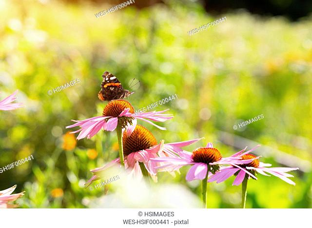 Medicinal plant Echinacea and butterfly