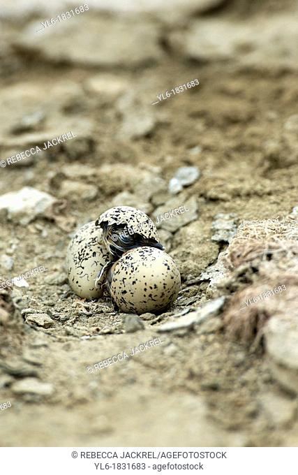 Snowy plover chick emerging from egg