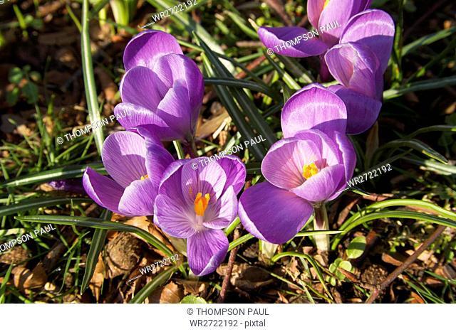 90900189, purple crocuses, England, close up, croc