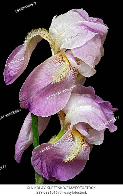 Hybrid German iris (Iris x germanica). Image of two flowers isolated on black background