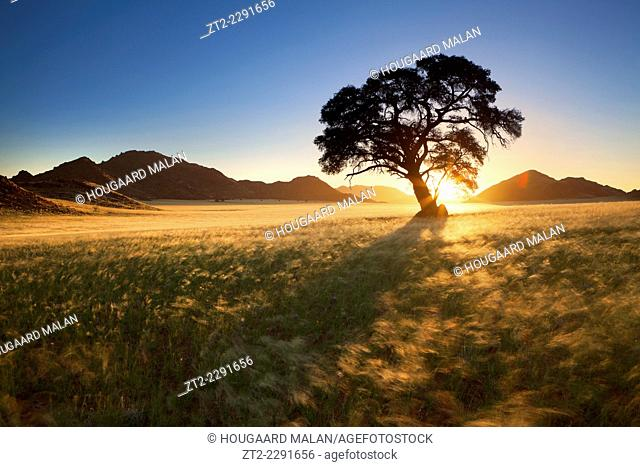 Landscape photo of a lone tree in golden grass silhouetted against a sunset sky. Namib Rand, Namibia