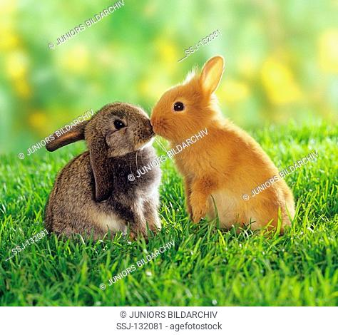 two dwarf rabbits - smooching restrictions:Tierratgeber-Bücher / animal guidebooks, puzzles worldwide, mobile phone content worldwide