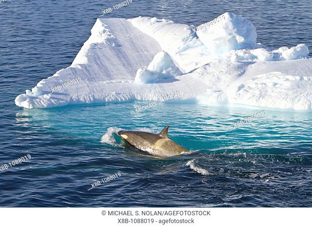 A large pod of 25 to 45 Type B killer whales Orcinus nanus in Paradise Bay at 648 48 6S 638 02 6W, Antarctica, Southern Ocean  MORE INFO These animals are also...