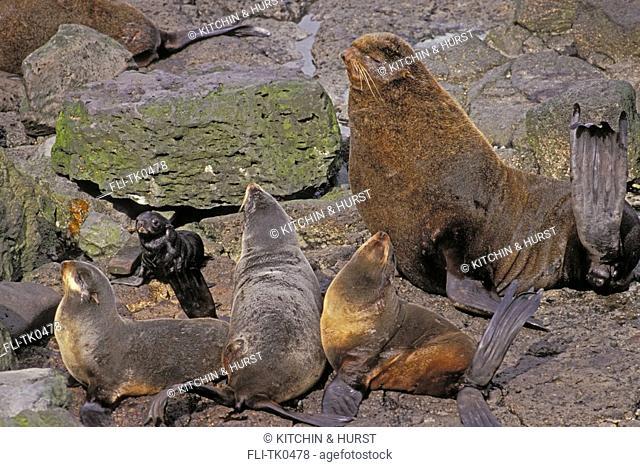 Northern Fur Seals  Pup  cows & bull  Pribilofs, Alaska  Cailorhinus ursinus