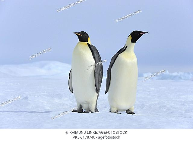 Emperor penguins, Aptenodytes forsteri, Two Adults, Snow Hill Island, Antartic Peninsula, Antarctica
