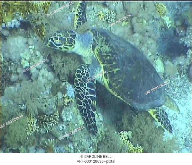 Hawksbill turtle foraging. Red Sea
