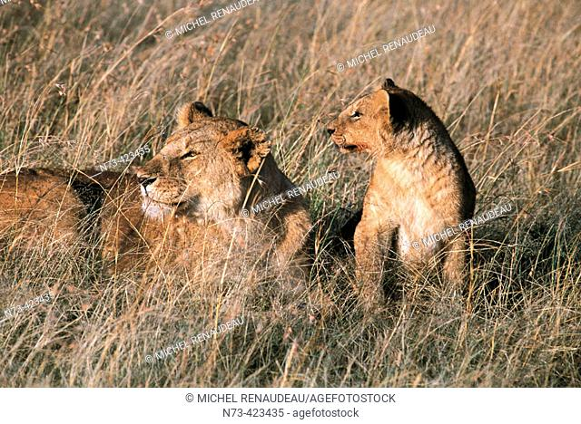 Lion and lioness. African fauna