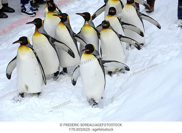Penguins in Asahikawa zoo, Hokkaido, Japan, Asia