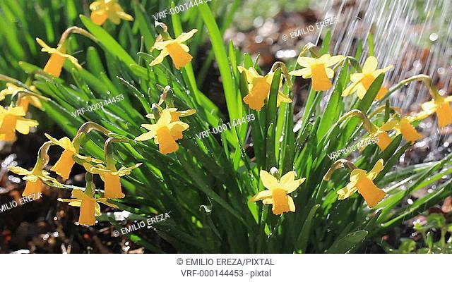 Watering daffodils