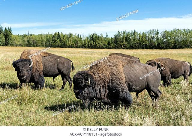 A pair of large bison or buffalo bulls and two others at a farm near Vanderhoof, British Columbia, Canada