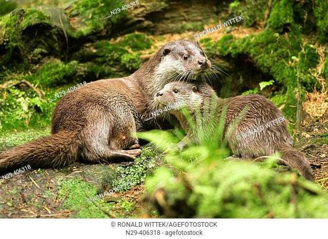 Otter (Lutra lutra). Captive, Germany