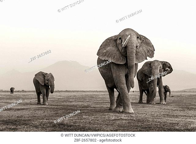 Elephant with one tusk in front of mount kilimanjaro