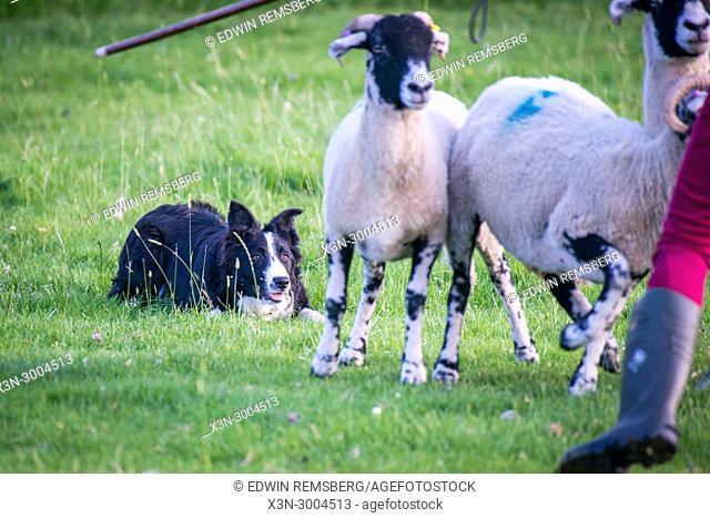 Sheep dog patiently awaits command while sheep run away, Yorkshire Dales, UK