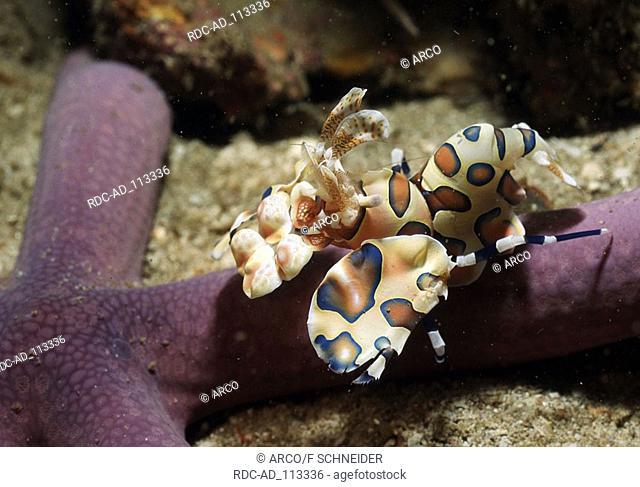 Harlequin Shrimp on starfish Thailand Hymenocera elegans Blue Clown Shrimp