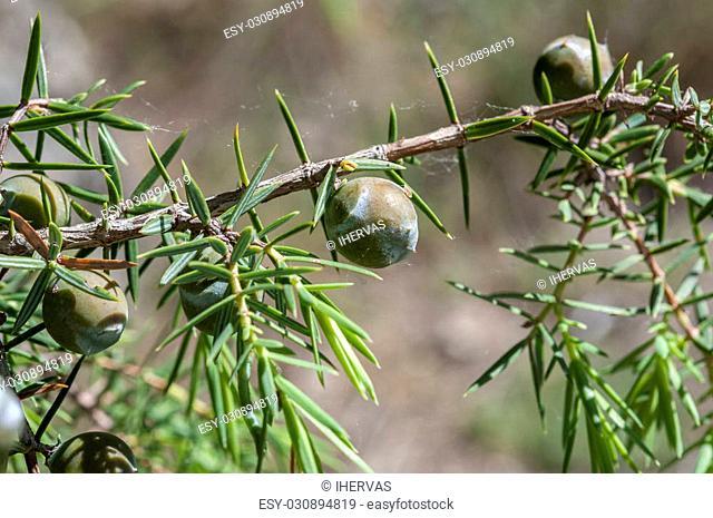 Fruits (immature cones) of prickly juniper, Juniperus oxycedrus. Photo taken in Guadarrama Mountains, La Cabrera, Madrid