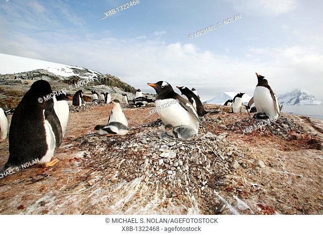 Gentoo penguin Pygoscelis papua parent with downy chicks on Petermann Island, near the Antarctic Peninsula