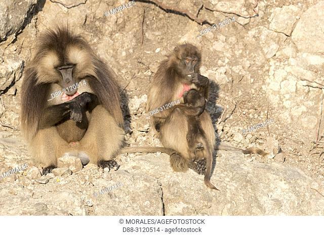 Africa, Ethiopia, Rift Valley, Debre Libanos, Gelada or Gelada baboon (Theropithecus gelada), dominant male and female