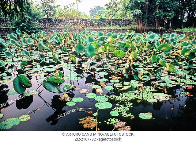 Water lillies on a pond. Ninh Bình Province, Vietnam