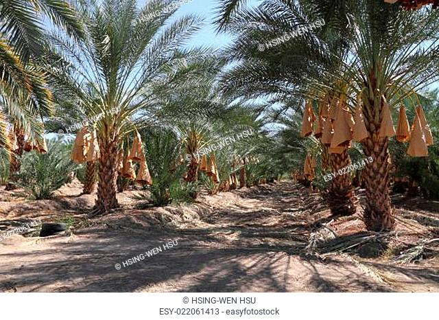Date palm tree orchard