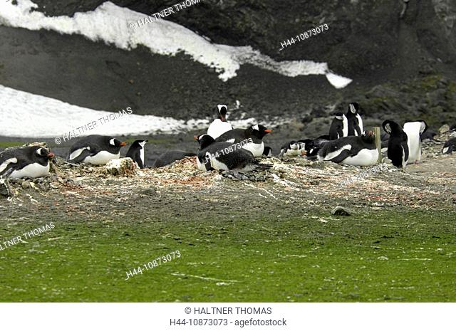 Antarctica,Antarctic,Aitcho Island,Barrientos,South Shetland Island,penguins