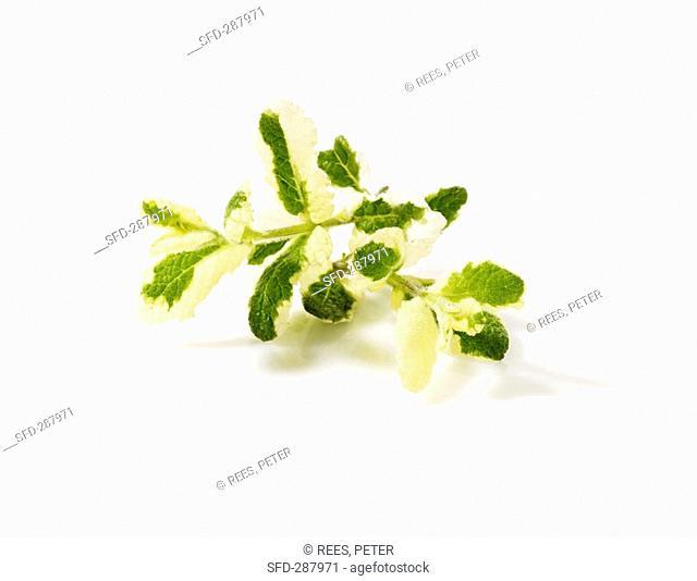 Pineapple mint Mentha suaveolens 'Variegata'