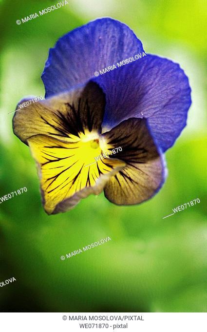 Pansy Flower. Viola x wittrockiana. April 2007, Maryland, USA