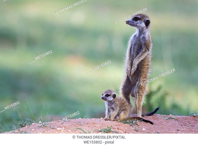 Suricate (Suricata suricatta). Also called Meerkat. Female with young on the lookout at their burrow. In the evening. During the rainy season in green...