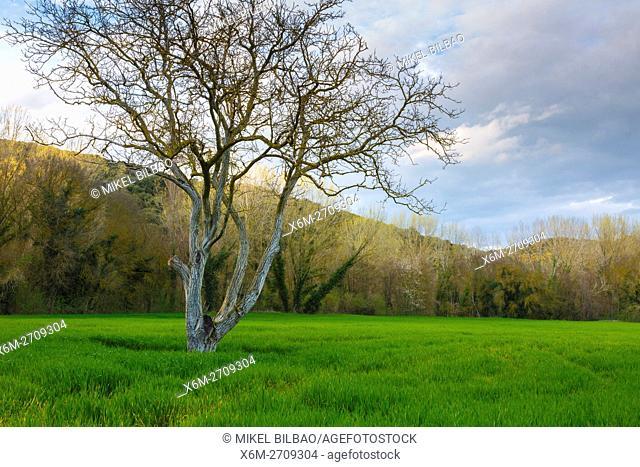Walnut tree (Juglans sp. ) in a meadow near Iguzquiza. Navarre, Spain, Europe