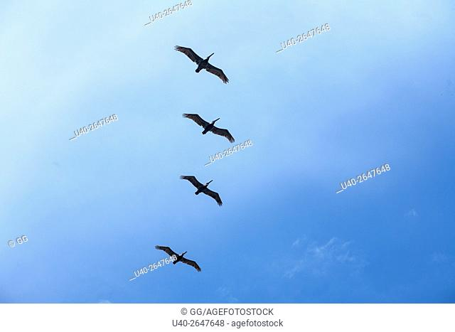 Silhouette of Pelicans against blue sky