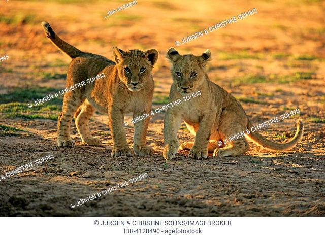 Lions (Panthera leo), two cubs, four months, siblings, playing, Tswalu Game Reserve, Kalahari Desert, North Cape, South Africa