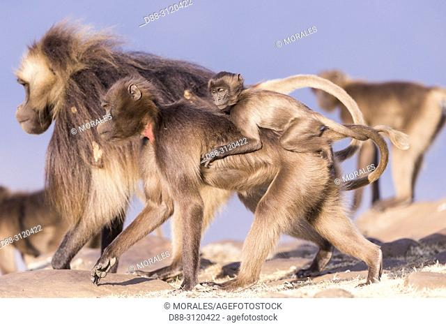 Africa, Ethiopia, Rift Valley, Debre Libanos, Gelada or Gelada baboon (Theropithecus gelada), adult female with a baby, a male in the background
