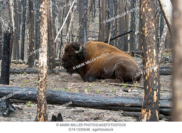 Bison in Burned Trees of Yellowstone Fire Aftermath