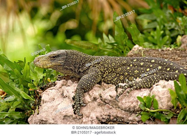 Salvadori's Monitor or Papuan Monitor (Varanus salvadorii), adult resting on a rock, in captivity, Singapore, Southeast Asia, Asia