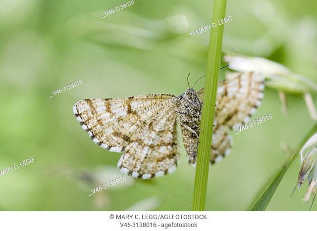 "Common Heath, Ematurga atomaria is a Geometrid moth or Looper caterpillar with with wingspan 24â. ""34 mm. Looks similar to Latticed Heath Moth"