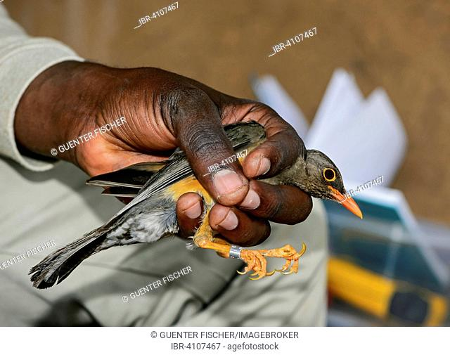 Abyssinian Thrush (Turdus olivaceus abyssinicus) is ringed by an ornithologist, Harenna Forest, Bale Mountains, Oromia Region, Ethiopia