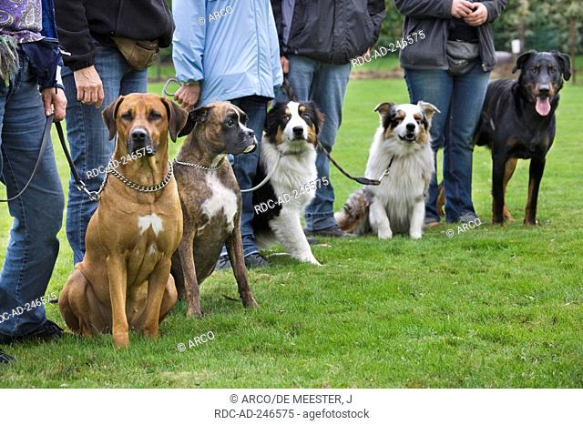 Dogs in dog school training Rhodesian Ridgeback German Boxer Australian Shepherd Beauceron