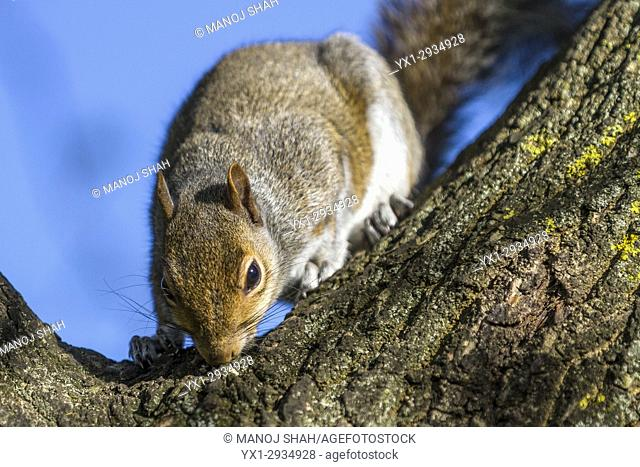 Grey Squirrel smelling tree trunk. London, England